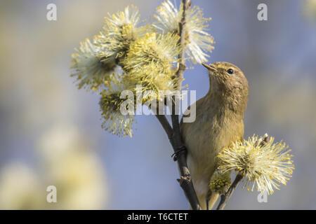 Common chiffchaff (Phylloscopus collybita) - Stock Photo