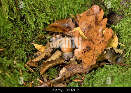 oak leaves and fruit in autumn - Stock Photo