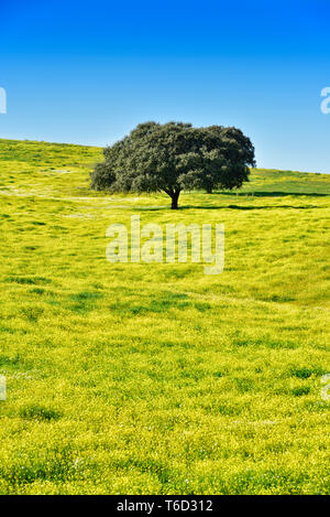 Holm oak in the vast plains of Alentejo. Portugal - Stock Photo