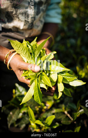Tamil Woman Tea Picker in a Tea Plantation in the Highlands, Nuwara Eliya, Central Province, Sri Lanka, Asia - Stock Photo
