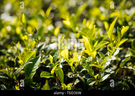 Nuwara Eliya, Central Province, Sri Lanka, Asia - Stock Photo