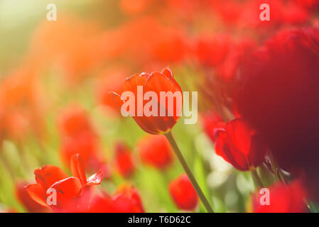 Colorful tulip field, summer flowerwith green leaf with blurred flower as background - Stock Photo