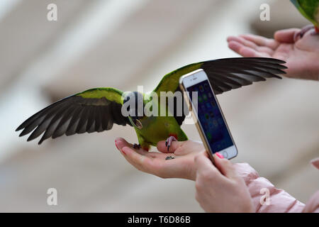 Portrait of a person taking a photo of a nanday parakeet (aratinga nenday) eating seeds out of a persons hand - Stock Photo