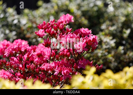 Pink, red azaleas blooms in spring - Stock Photo