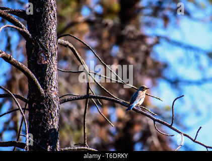 Beautiful Young Female Mountain Bluebird (Sialia currucoides) Perched in Tree - Stock Photo