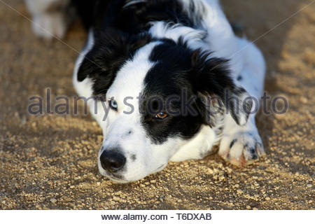 Black & White Border Collie Resting. - Stock Photo