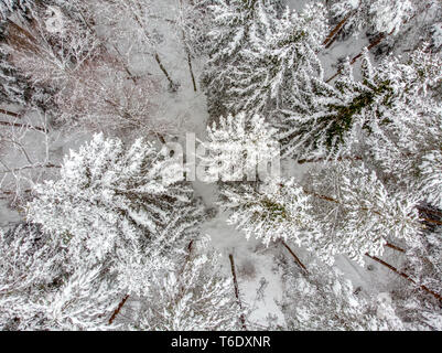 Evergreen forest in winter - Stock Photo