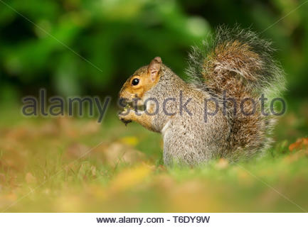 Eastern grey squirrel eating acorns in the park, UK. - Stock Photo