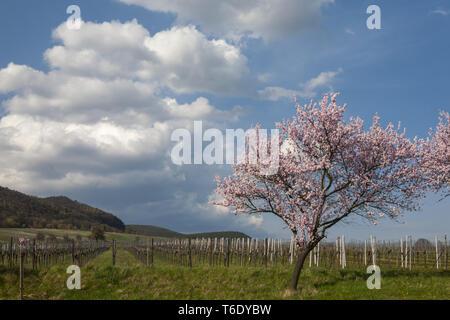 Almond tree blossom (Prunus dulcis) in the southern Palatinate - Stock Photo