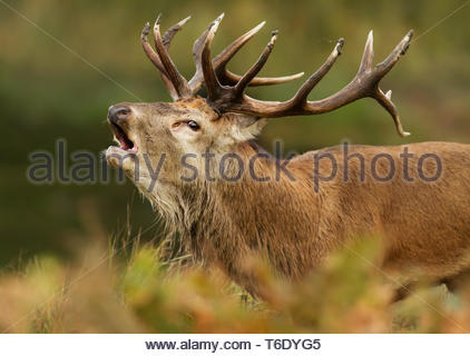 Close up of red deer stag bellowing during the rut - Stock Photo