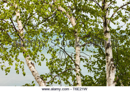 A clump of birch trees with their spring growth of new leaves grow along the Lake Michigan shoreline in May within Harrington Beach State Park, Wis - Stock Photo