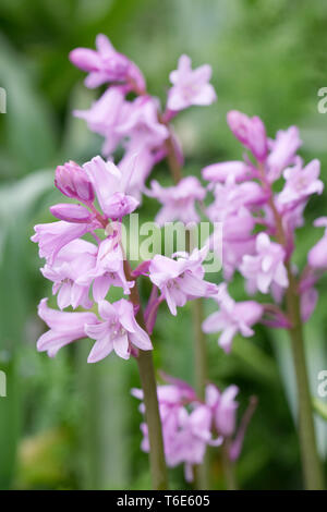 Hyacinthoides hispanica. Pink Spanish bluebells. - Stock Photo