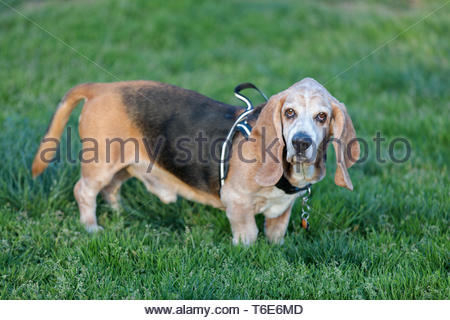 Basset Hound adult male portrait. - Stock Photo