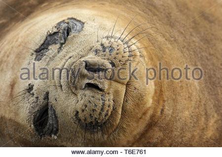 Southern elephant seal, mirounga leonina, Gold Harbor, Insle, South Georgia - Stock Photo