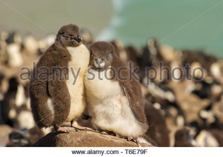 Two juvenile rockhopper penguins standing on a stone - Stock Photo