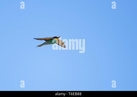 bee-eater flying with prey - Stock Photo