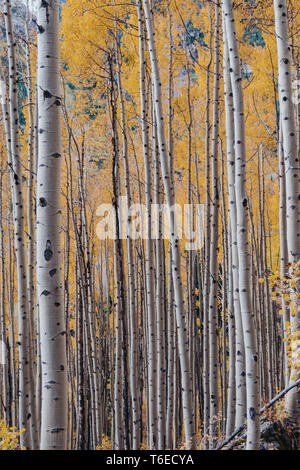 Golden yellow aspen trees during the fall at Maroon Bells in Aspen, Colorado, USA - Stock Photo