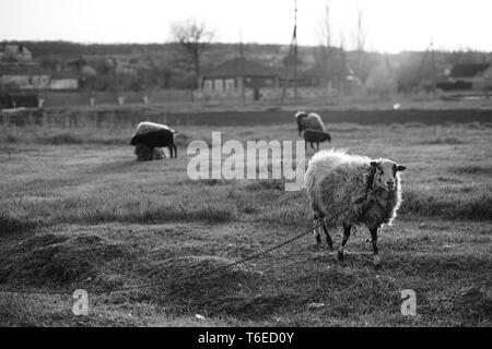 Sheep graze in the meadow in summer. Black and white photo - Stock Photo
