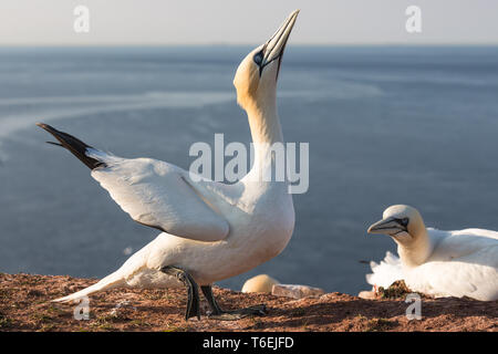 Gannet trying to impose female bird in breeding colony Helgoland - Stock Photo