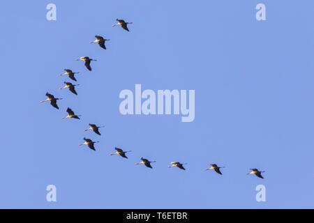 Common crane (Grus grus) - Stock Photo