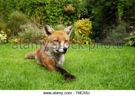 Red fox lying in the garden with flowers - Stock Photo