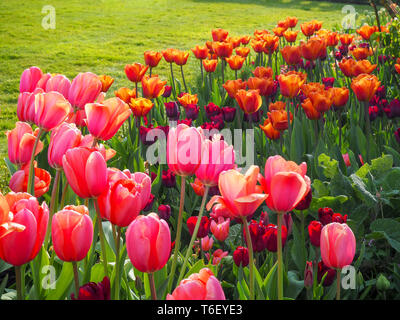 Chenies Manor Gardens, Bucks in April; sunny tulip border with shades of pink, orange and carmine; a vibrant display of colour in fine weather. - Stock Photo