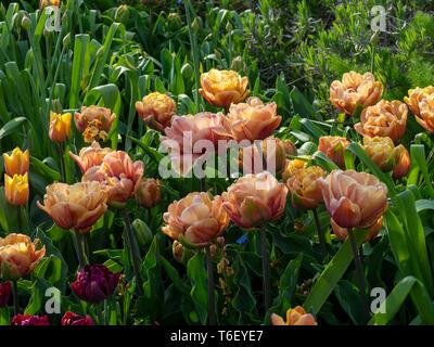 Chenies Manor Gardens in April detailing Tulipa La Belle Epoque, pastel pink tulips en masse. - Stock Photo
