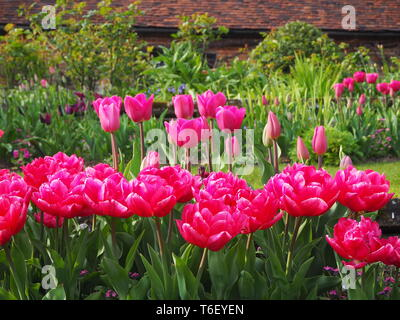 Shocking pink tulip borders at Chenies Manor in April.; mass planting of tulip varieties in peak condition in beautifully landscaped sunken garden. - Stock Photo