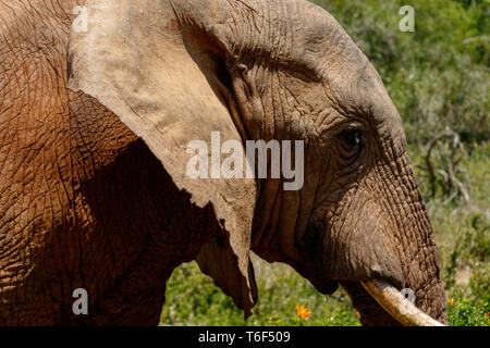 Close up of an Elephant passing by - Stock Photo