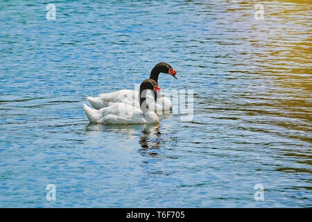 Pair of Black-necked Swans - Stock Photo