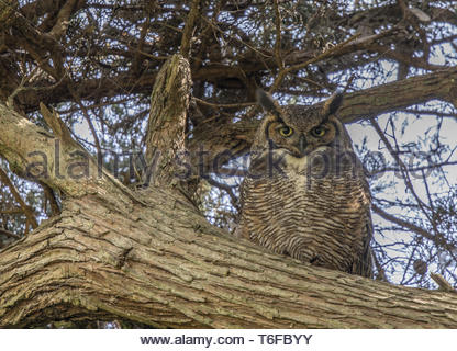 Coastal Great Horned Owl Adult Female Camouflaged. - Stock Photo