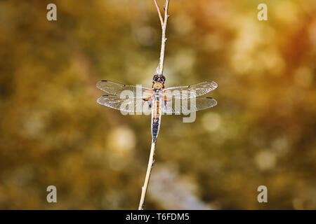 The Four-spotted Chaser (Libellula Quadrimaculata) - Stock Photo