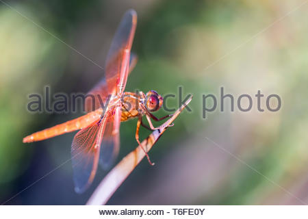 Flame (firecracker) Skimmer (Libellula saturata dragonfly) resting on a leaf. - Stock Photo