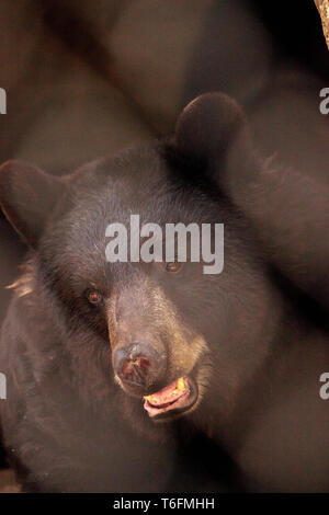 Black bear Ursus americanus relaxes in its cave - Stock Photo