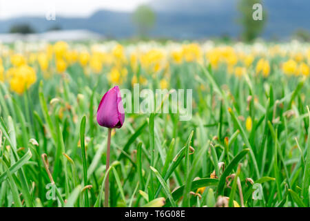 French late tulip bloom among flower field on a farm, with yellow tulips in the distance. Selective focus on the purple pink tulip in the scene. - Stock Photo