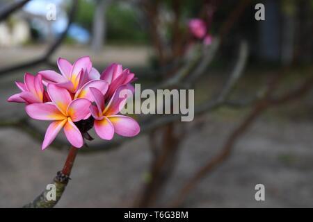 Magnolia tree in flower on Azura Quilalea Private Island, Quirimbas Archipelago, Mozambique, Africa - Stock Photo
