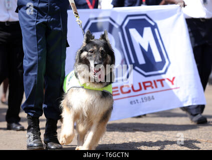 Nairobi, Kenya. 1st May, 2019. A trained dog seen being walked during the celebrations.Kenyans celebrated Labour Day at Uhuru Park in Nairobi where some Youths protested against rampant corruption and poor leadership in Kenya. Unemployment and underemployment is widespread in the country. Credit: Billy Mutai/SOPA Images/ZUMA Wire/Alamy Live News - Stock Photo