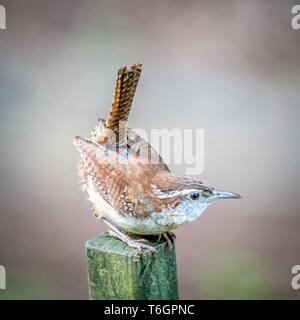 carolina wren on a fence post - Stock Photo
