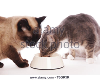 two cats eating from same feeding bowl - Stock Photo
