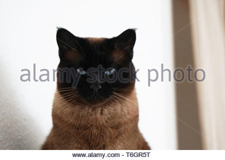 siamese cat with narrowed eyes and menacing look - Stock Photo