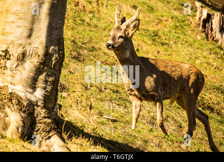 Male Roe Deer ( Capreolus caoreolus) in the Pyrenees. - Stock Photo