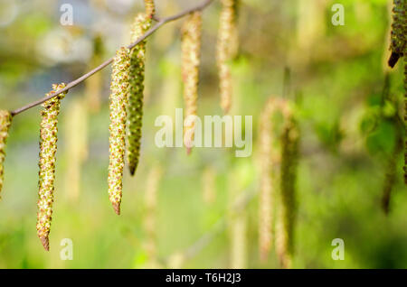 Branches Thin Beautiful springs of birch with earrings and young green leaves closeup  Fresh, buds. Springtime nature concept - Stock Photo