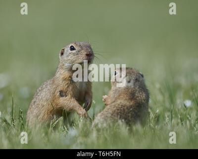European Ground Squirrel, Gopher, genus Spermophilus, Austria - Stock Photo