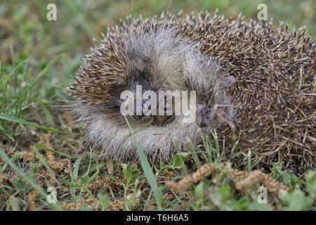 a hedgehog is sleeping in the garden - Stock Photo