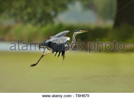Grey heron in flight over a pond - Stock Photo