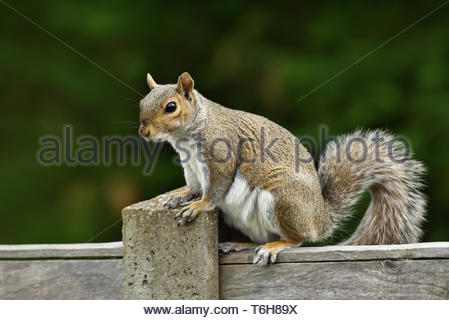 Close up of a grey squirrel sitting on a fence - Stock Photo