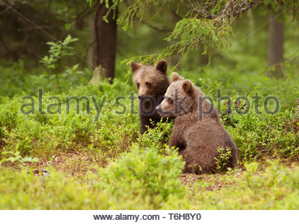 Two European brown bear cubs in boreal forest, Finland. - Stock Photo