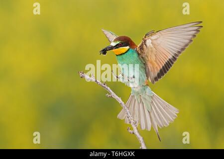 Bee-eater landing on a twig with bee in beak - Stock Photo