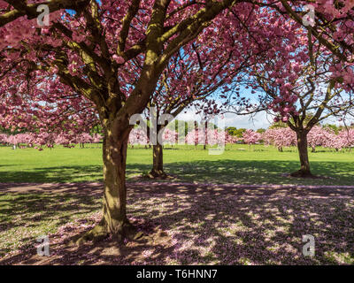 Cherry Blossom in Spring on The Stray at  Harrogate North Yorkshire England - Stock Photo