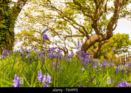 Creative colour landscape photograph with in-focus spanish bluebells in foreground and windswept trees in background, Taken in Poole, Dorset, England. - Stock Photo